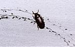 mealwormbeetle