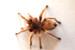 roehair-tarantula-DSC_1181sm-75