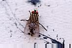 sarcophagidfly